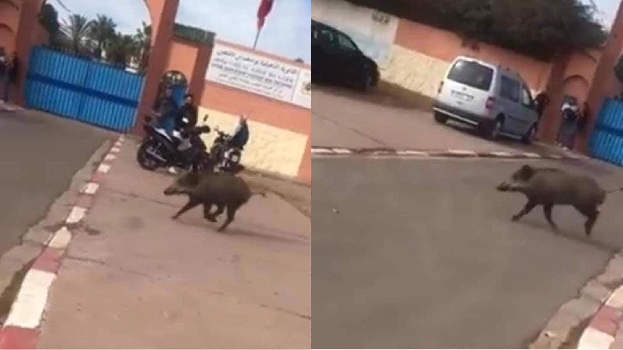صورة الخنزير البري يتجول بشوارع أكادير