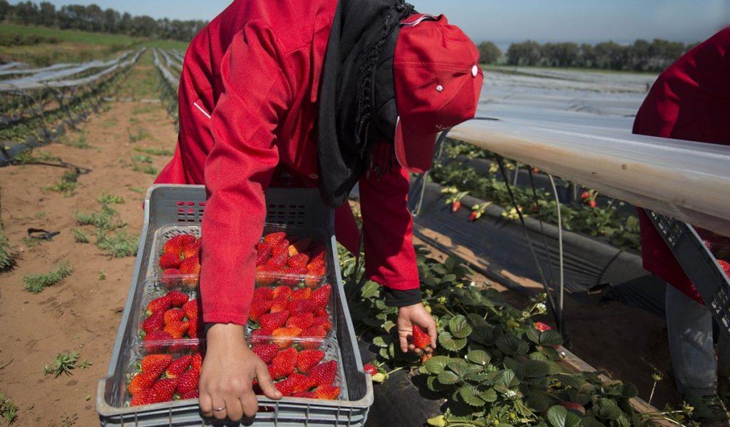صورة حقول الفراولة ..إسبانيا تستعد لاستقبال الفوج الأول من العاملات المغربيات