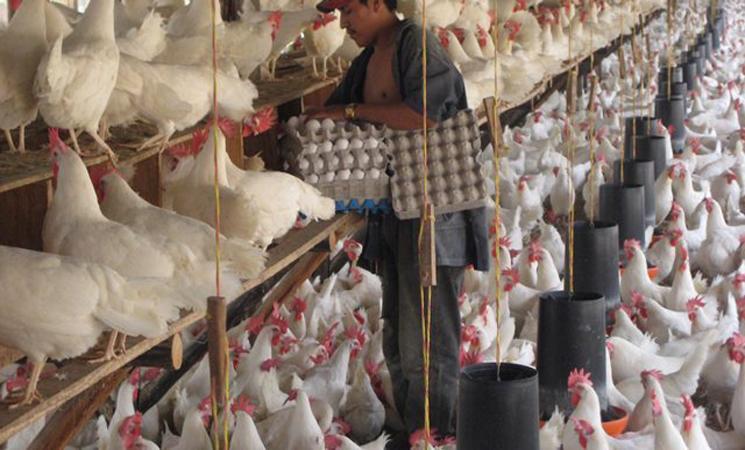 صورة أنفلونزا الطيور تستنفر السلطات المغربية