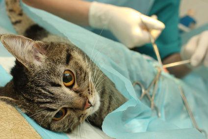 صورة أكادير | عملية جراحية مقابل قطع الأذن .. مواطنون يستنكرون ماتفعله جمعية بالقطط